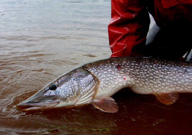 Northern Pike Fishing - Far Out Fly Fishing