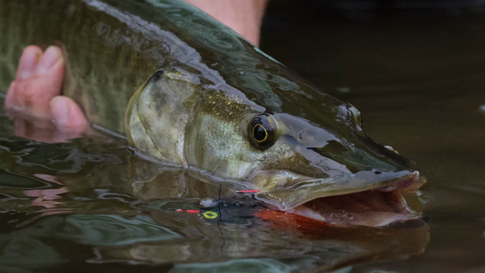 Wisconsin and Minnesota Fly Fishing for Musky